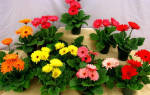 Комнатные растения гербера