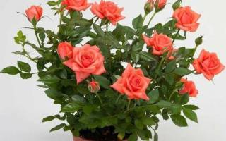 Роза кордана в саду