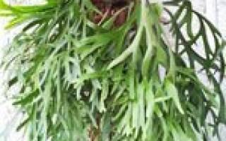 Цветок оленьи рога
