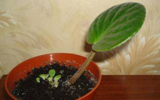 Как посадить фиалку из листа