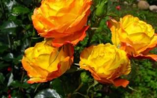 Роза стромболи флорибунда