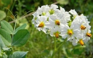 Цветы картофеля в народной медицине
