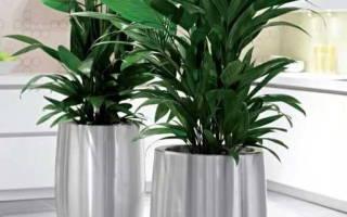Арека пальма уход в домашних условиях