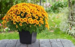 Домашние хризантемы в горшке уход