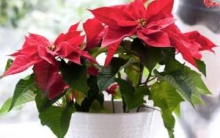 Рождественский цветок с красными листьями уход