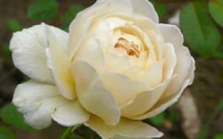 Розы значение цветов