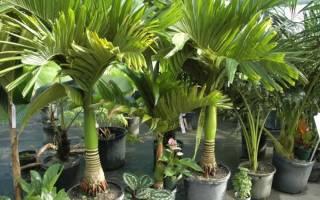 Пальма хризалидокарпус