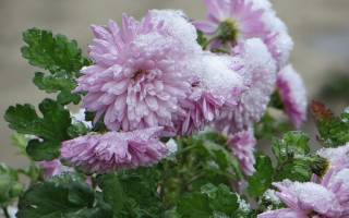 Как зимуют хризантемы