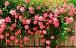 Как ухаживать за садовыми розами