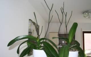 Когда обрезать цветоносы у орхидеи после цветения