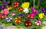Садовые тенелюбивые цветы