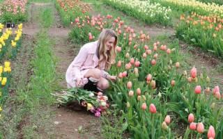 Когда выкапывать тюльпаны для пересадки