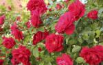 Роза плетистая посадка