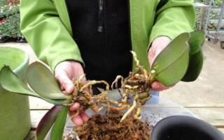 Как рассаживать орхидею в домашних условиях