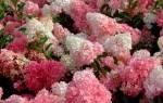 Розовая гортензия сорта