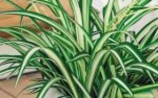 Как размножается хлорофитум