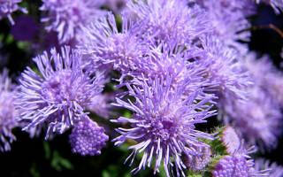 Фиолетовое растение