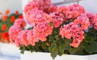 Как заставить цвести герань в домашних условиях