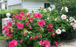 Уход за гибискусом садовым