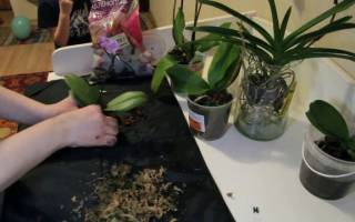 Как сажать орхидею в домашних условиях