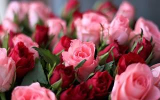 Цветы розы красные