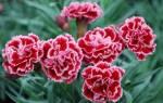 Гвоздика садовая многолетняя посадка и уход