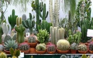 Виды комнатных кактусов