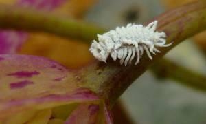 Борьба с мучнистым червецом на комнатных растениях