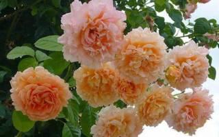 Цветы красивые розы