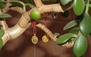 Денежное дерево виды