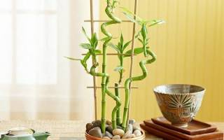 Домашний бамбук как ухаживать