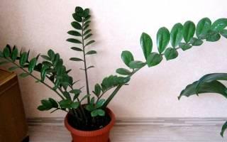 Как рассадить замиокулькас