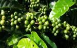 Вырастить кофе в домашних условиях