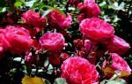 Роза канадская посадка и уход