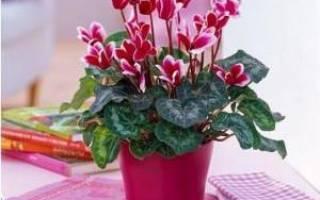 Цикламен комнатное растение