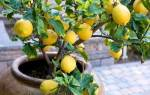 Лимон из семечка в домашних условиях