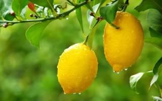 Растение лимон в домашних условиях