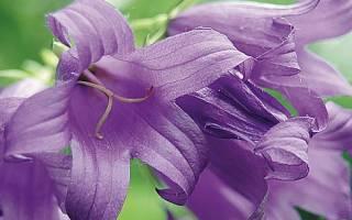 Цветок как колокольчик название