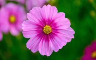 Когда цветет космея