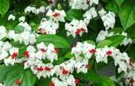 Госпожа томсон цветок