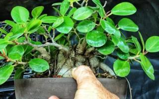 Фикус ядовитое растение или нет