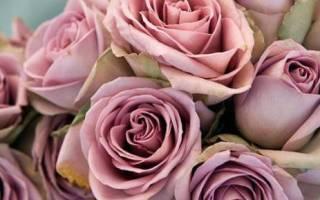 Цвет дымчатая роза