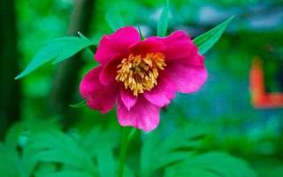 Цветок марьин корень