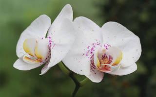 Орхидея энергетика цветка для дома