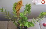Почему желтеют листья у замиокулькаса