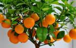 Апельсин в домашних условиях