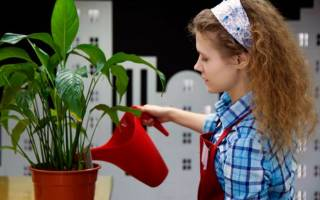 Как поливать спатифиллум в домашних условиях
