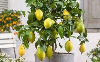 Как прививать лимон в домашних условиях