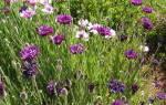 Васильки цветы выращивание