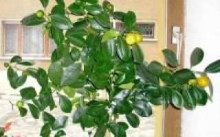 Когда пересаживать лимон в домашних условиях